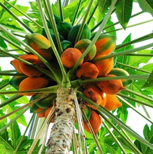 papaye-bio-fermentee-fruit-poudre-verte-jus-antioxydant-naturel-puissant-superfruit-pulpe-defenses-immunitaires-peau-43