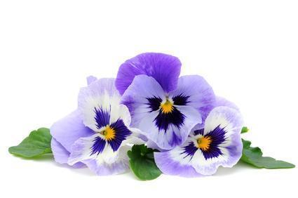 Pensee_sauvage_fleur